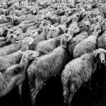 Cấp giấy chứng nhận đủ điều kiện chăn nuôi trang trại